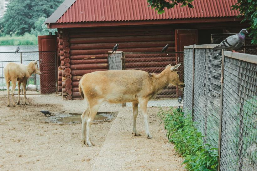Олени Давида настороженно смотрят на соседний вольер, в котором обитают степные волки