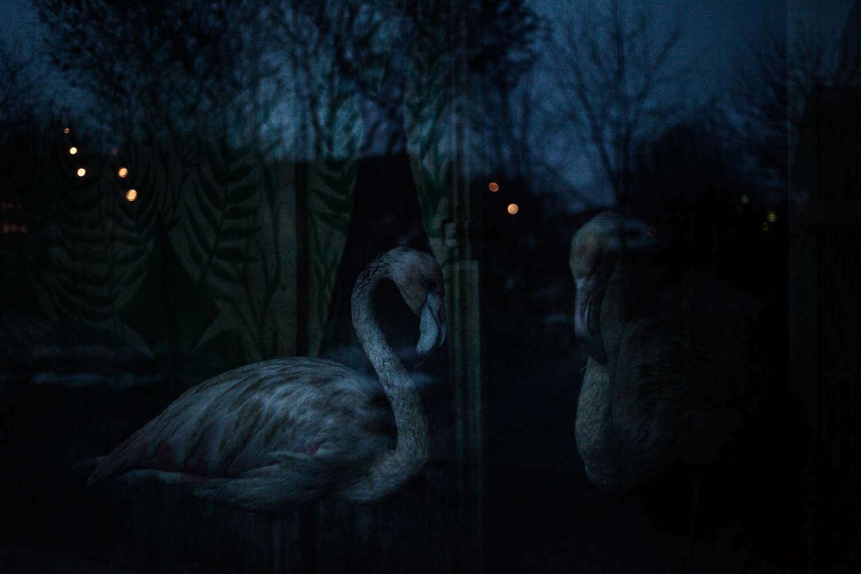 Розовые фламинго за стеклом вольера в Минском зоопарке. Из-за жизни в неволе, в результате недостатка водорослей в рационе, фламинго выглядят бледнее своих собратьев в дикой природе. 25 декабря 2013