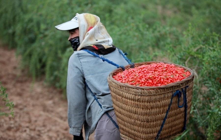 Сбор ягод годжи, фото: nipic.com