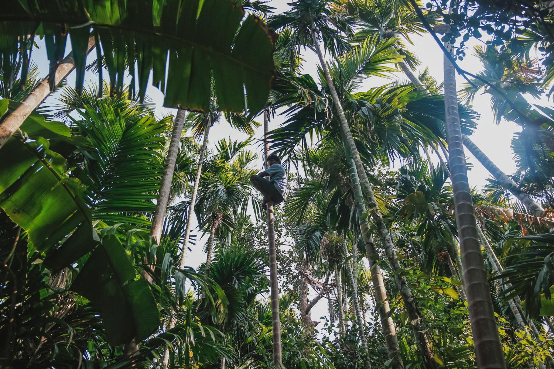 Так местные собирают кокосы