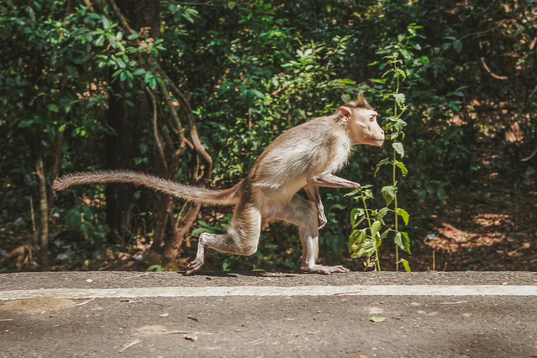 У этой обезьяны нет передней лапы. Из-за своего увечья она бегает, как человек, на двух ногах